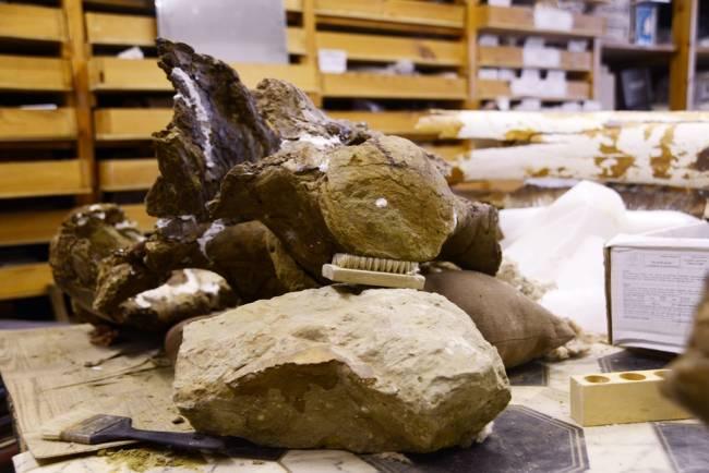 крупный травоядный динозавр останки
