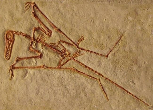 Рамфоринхи скелет