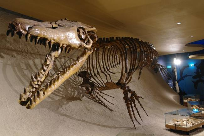 Мозазавр скелет