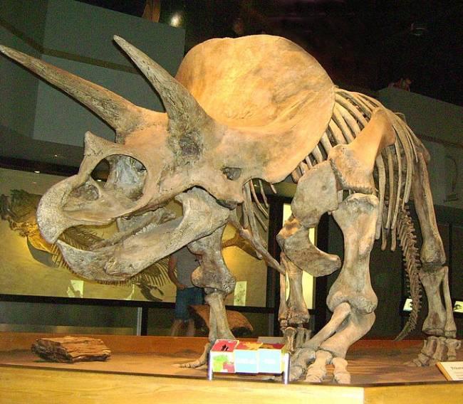 Трицератопс скелет