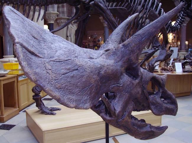 Трицератопс череп