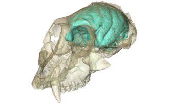 модель мозга древней обезьяны