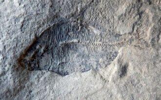 древние отпечатки рыб