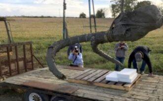 останки древнего мамонта