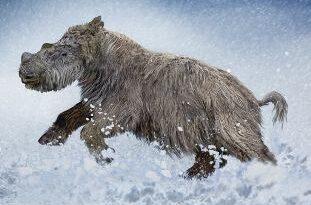 детеныш шерстистого носорога