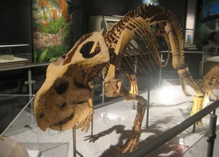 протоцератопс скелет
