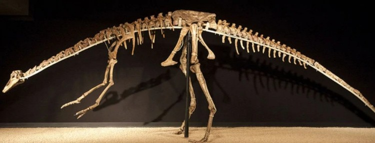 Ансеримим скелет