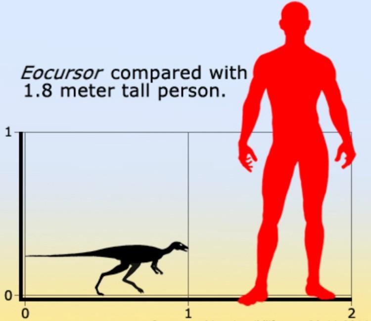 Эокурсор размер